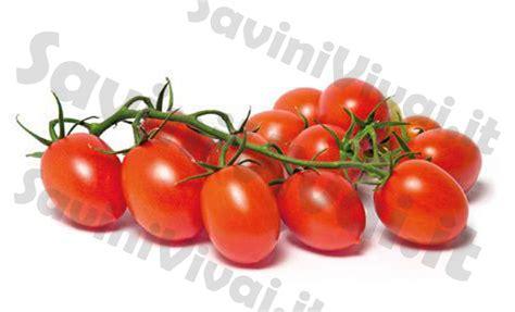 pomodori datterini in vaso piante di pomodoro datterino capriccio f1 in vaso 10 cm