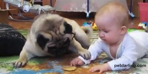 perros pug bebes perro carlino perro pug bebe galleta petdarling