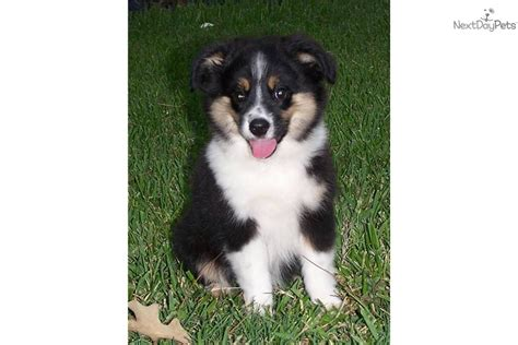 australian shepherd puppies houston miniature australian shepherd puppy for sale near houston 70b5ed88 0431