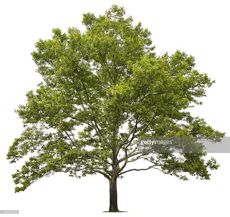 tree pictures sycamore tree stock photo getty images