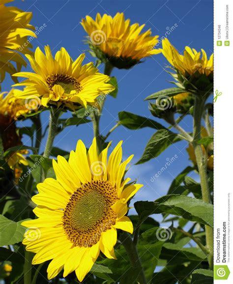 imagenes girasoles hermosos girasoles hermosos