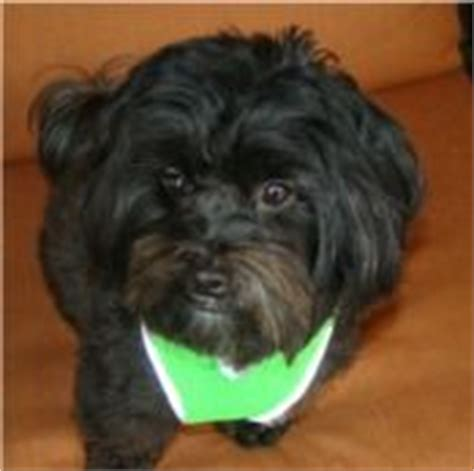 havanese rescue md 521 best images about adoptable dogs mostly havanese on adoption kern