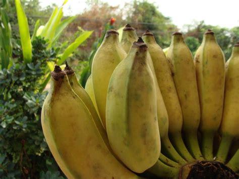 1 Sisir Pisang Ambon banana city