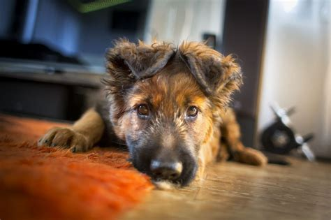 what to feed german shepherd puppy best food for german shepherd puppies healthy tasty choices