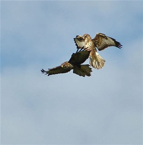 pair of birds attacking a buzzard identify this