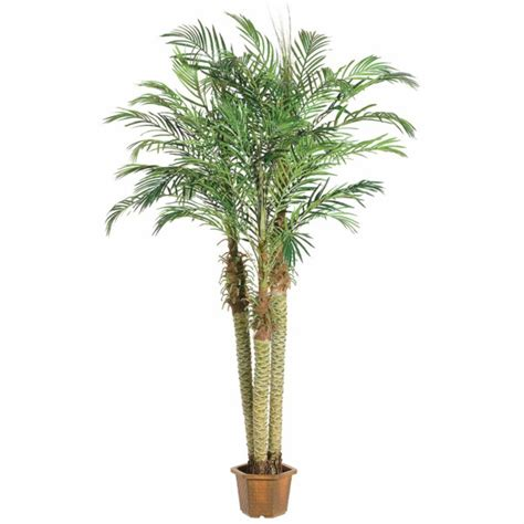 Potted palm images which are the typical palm species fresh design pedia