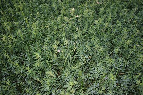 Herbal Alfalfa hoskyns leonard american medicines