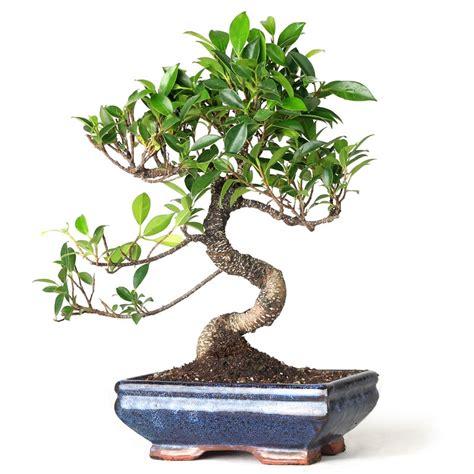 bonsai golden gate ficus bonsai  easternleafcom