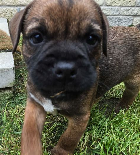 border terrier puppies for sale border terrier puppies for sale aberdeen aberdeenshire pets4homes