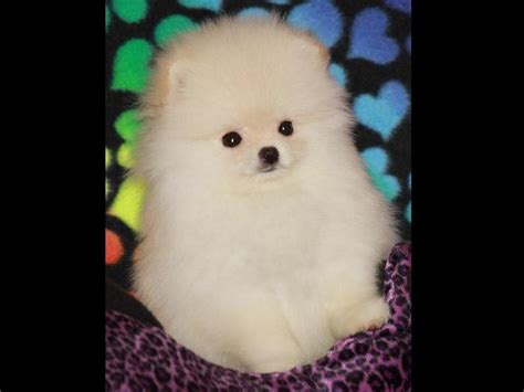 show pomeranian breeders char s pomeranians pomeranian puppies for sale