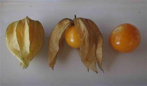 a fruit that looks like a tomato foodstuff physalis cape gooseberry sybaritica