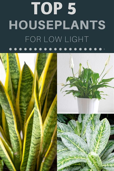 best houseplants for low light top 5 houseplants for low light gardening know how s blog