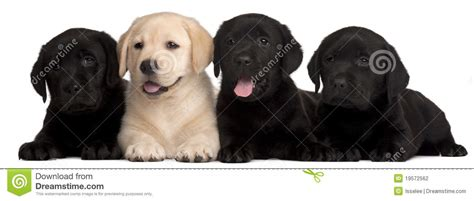 7 week lab puppy four labrador puppies 7 weeks stock photography image 19572562