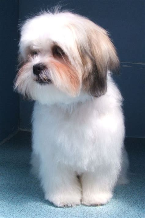 shih tzu vs maltese 14 best images about anamils like my wally on shih tzu mix poodles and