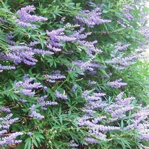 flowering shrubs zone 6 best flowering shrubs for hedges