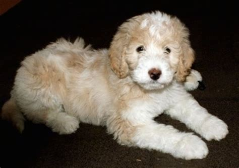 pyredoodle puppies pyredoodle breed information and picturess