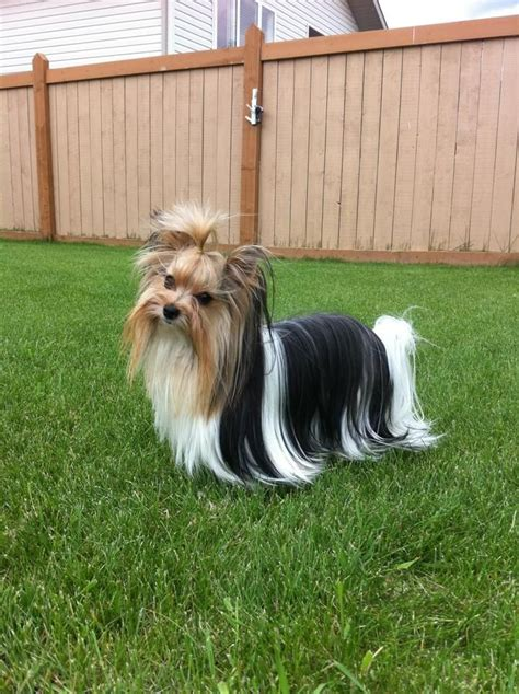 cat haircuts edmonton biewer yorkshire terrier for stud in edmonton alberta