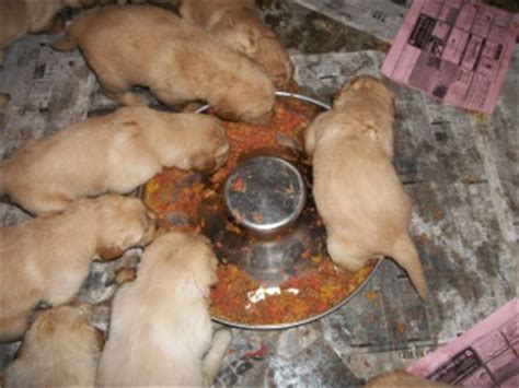 puppy weaning weaning puppies