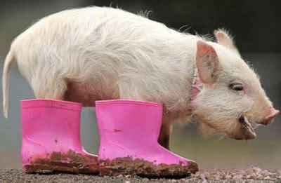 Sepatu Lukis Babi Lucu gambar aneh lucu konyol dan unik binatang dari seluruh dunia zallegiance