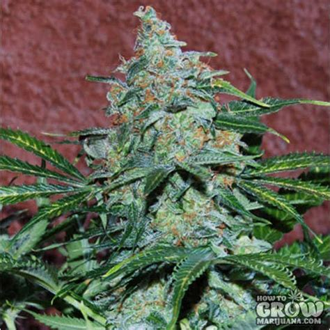 world  seeds amnesia auto autoflowering feminized seeds