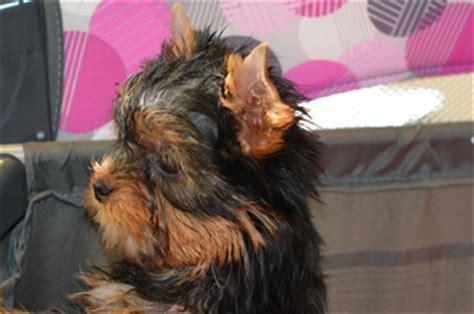 yorkie playpen yorkie puppies for sale artistry yorkies