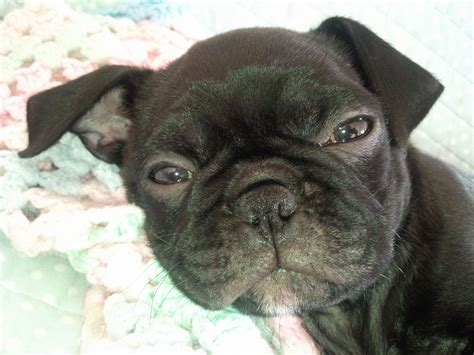 terrier pug mix pin boston terrier pug mix picture on