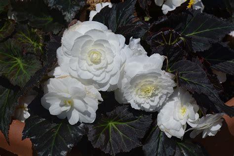 nonstop mocca white begonia begonia nonstop mocca white
