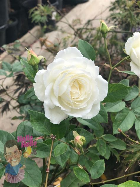 iceberg rose   plants garden supplies