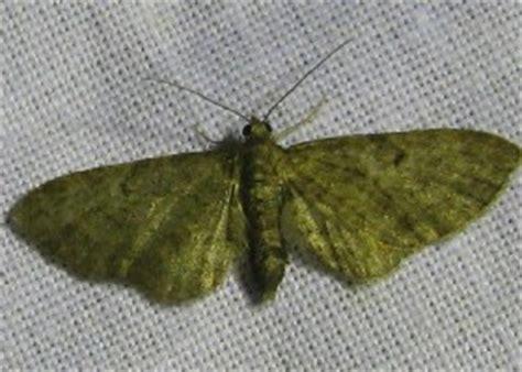 grey pug moth small moths
