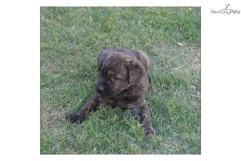 presa canario puppies for sale near me presa canario puppy for sale near 623e0749 4011