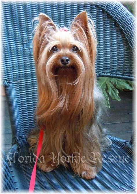 rescue yorkies in florida cocoa florida pet adoption yorkie friends rescue cocoa florida pet