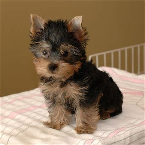yorkie puppies for sale bc x and yorkie puppies for sale now ready to go home
