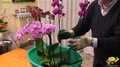 come curare l orchidea in vaso coltivazione delle orchidee