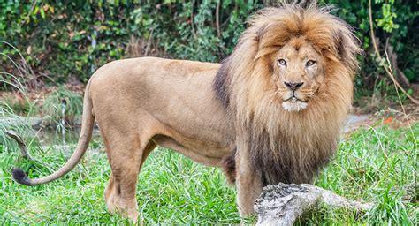 imagenes de leones en zoologico un zool 243 gico dan 233 s invita a los ni 241 os a presenciar la