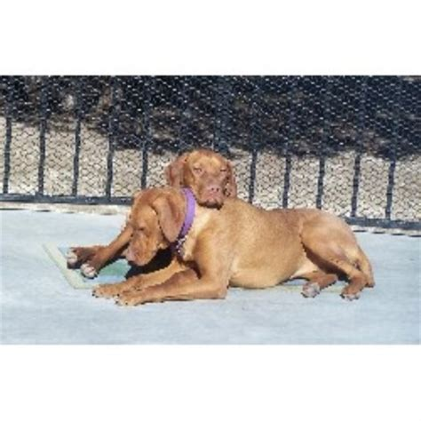 vizsla puppies for sale florida vizsla puppies for sale ontario breeds picture