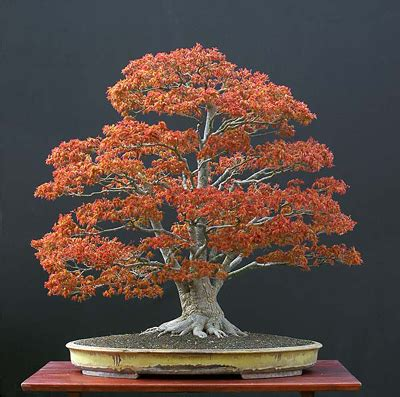 bonsai masterclass all you need to know about creating bonsai from one of the worlds top experts libro para leer ahora blog fuad informasi dikongsi bersama all that you want to know about japanese maple bonsai
