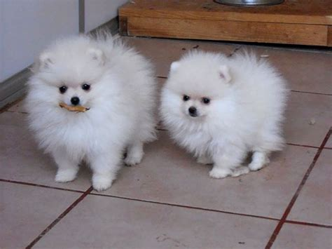 pomeranian caracteristicas image gallery perros pomeranian