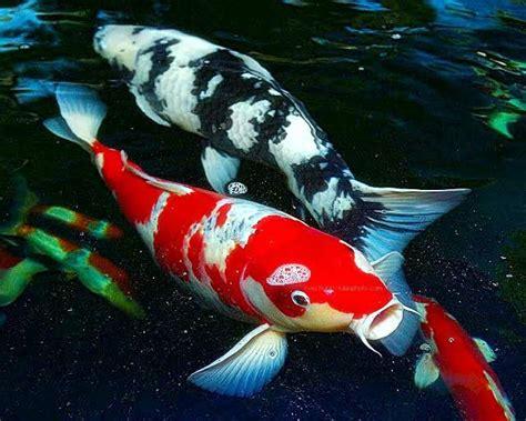 Pakan Ikan Lele Paling Bagus berapa lama ikan koi dapat bertahan galena