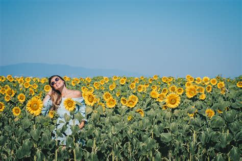 sunflower fields sunflower fields