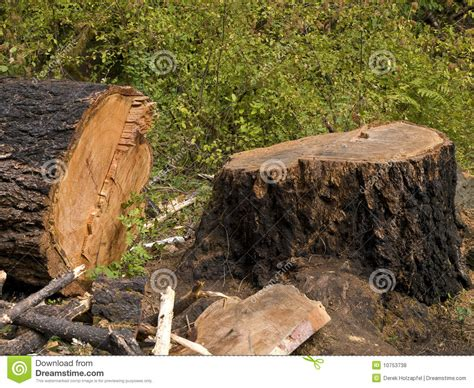 cutting a tree down in sections old growth fir tree cut down stock photo image 10753738