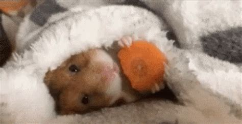 Futon Gif by Popular Hamster Carrot In Bed Gif Hamster Gpoy