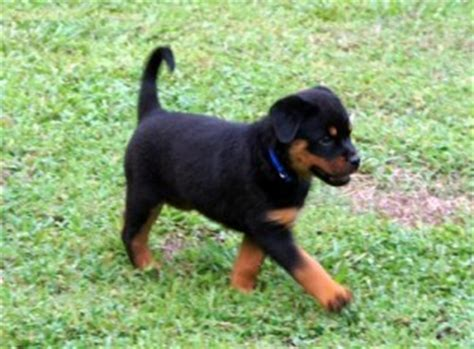 rottweiler puppies nh dogs concord nh free classified ads
