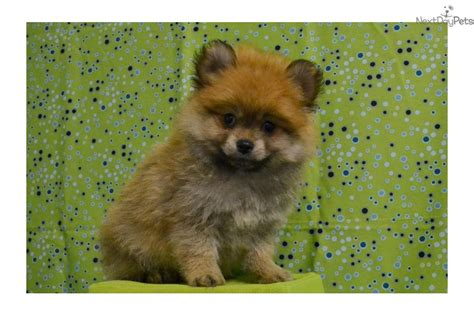teddy puppies for sale in missouri pomeranian puppy for sale near springfield missouri ad6158f4 0f51