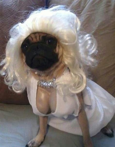 cutest pug in the whole world marilyn pug pug thug marilyn