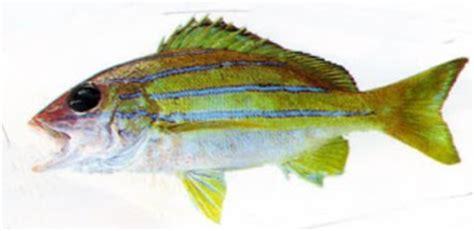 Jaket Bloods Biru rc lover my fishing hobby13 fish that i always catch in sea