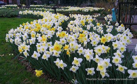 ditelo coi fiori narcisata nel mio giardino 27 marzo 09 02 ditelo coi fiori