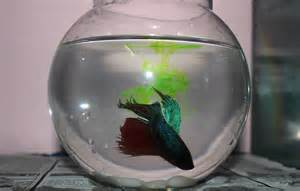 This is my cute little betta fish in my fish bowl