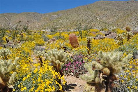 anza borrego super bloom anza borrego desert state park super bloom desertusa