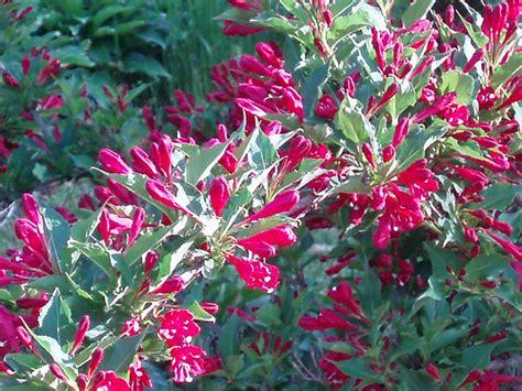 flowering shrub weigela weigela a flowering shrub flickr photo