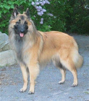 lade berger belgian tervuren breed information and pictures